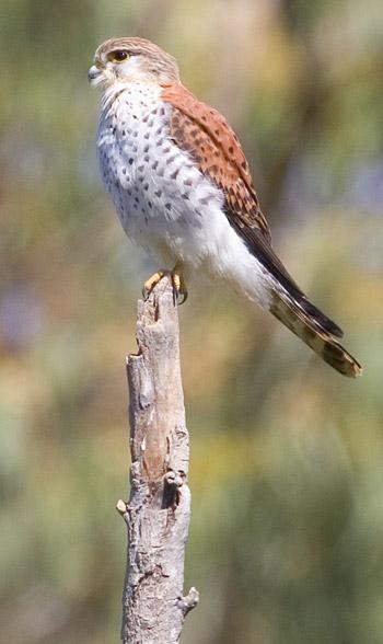 Falconiformes. sub Falconidae - sub fam Falconinae - gênero Falco - Página 2 20071118091736