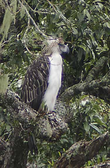 Falconiformes. Família  Acciptridae - Subfamília Buteonidade-Águias coroadas - gênero Pitecophaga jefferyi . Águia das Filipinas. 20080117034838