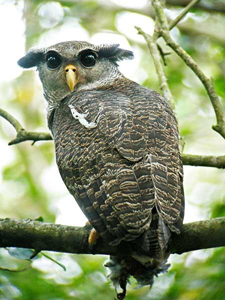 Strigformes: Famíla Strigidae- sub fam. Buteonidae. Género Ketupa (por vezes incluído em Bubo) 20110102033503
