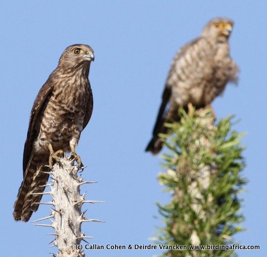 Falconiformes. sub Falconidae - sub fam Falconinae - gênero Falco - Página 3 20110108095812