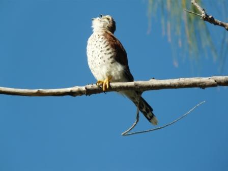 Falconiformes. sub Falconidae - sub fam Falconinae - gênero Falco - Página 2 20110604065001