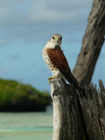 Falconiformes. sub Falconidae - sub fam Falconinae - gênero Falco - Página 2 20110604065301