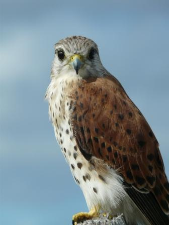 Falconiformes. sub Falconidae - sub fam Falconinae - gênero Falco - Página 2 20110604065341