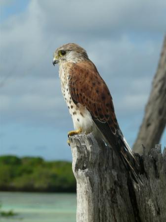 Falconiformes. sub Falconidae - sub fam Falconinae - gênero Falco - Página 2 20110604065414