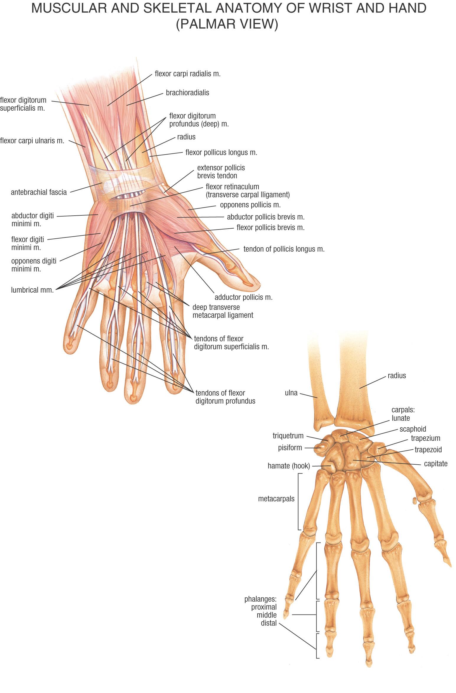 Hand reflexology charts! Hand%20anatomy