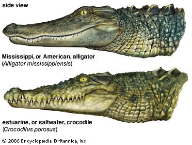 LE SAVIEZ-VOUS  - Page 3 Alligator-crocodile-difference