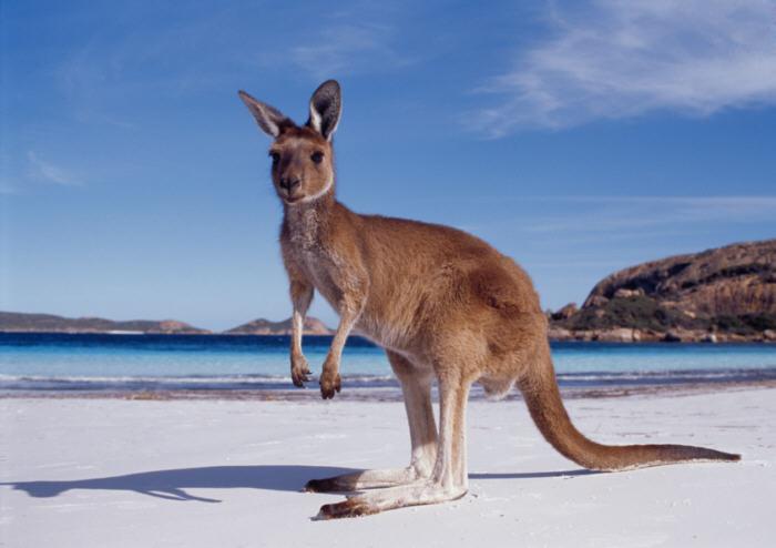 Australija Western-australia-kangaroo-beach
