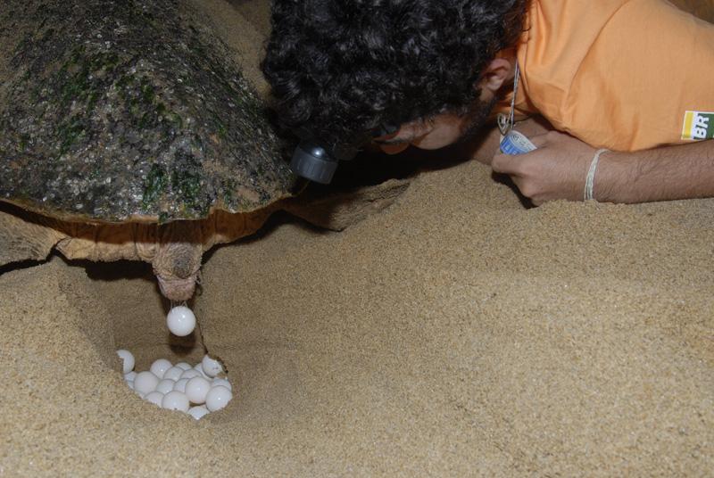 Notícias - Temporada 2012/2013: tartarugas marinhas voltam às praias para desovar  D09_A_475