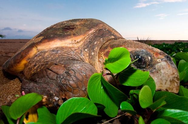 Notícias - Temporada 2012/2013: tartarugas marinhas voltam às praias para desovar  Inicio_temporada