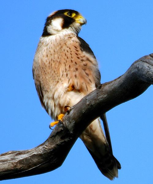 Falconiformes. sub Falconidae - sub fam Falconinae - gênero Falco Falcon_taita_Ruaha_EliKnapp_2011_03_2