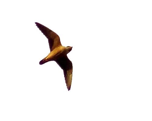 Falconiformes. sub Falconidae - sub fam Falconinae - gênero Falco Falcon_taita_falco_fasciinucha_mambo_VSchollaert_2011_10