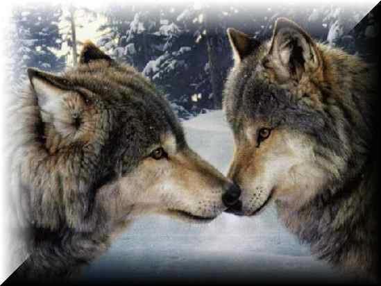 Vukovi - Page 3 Wolves-2