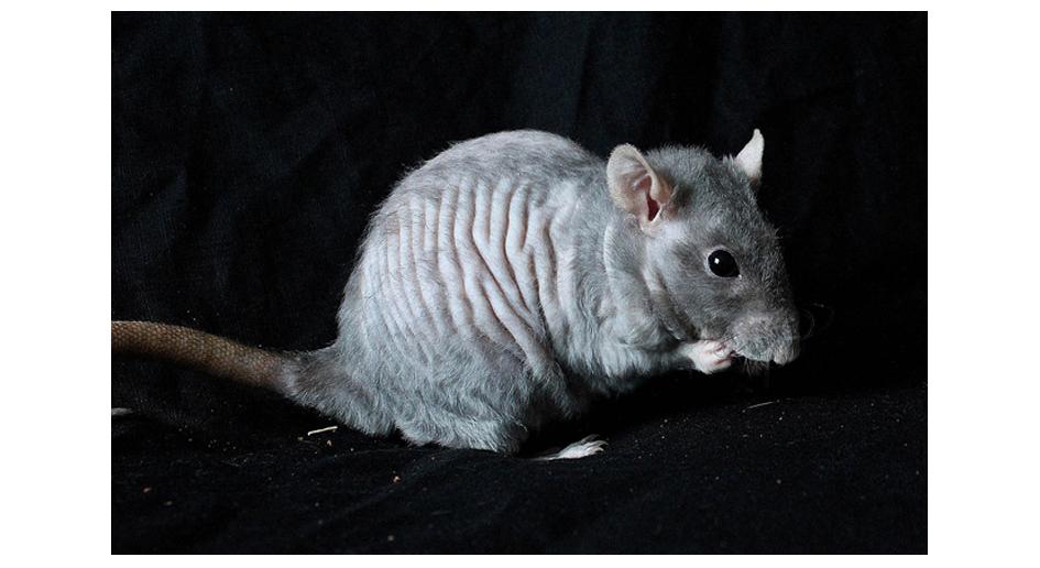 [GÉNÉTIQUE]  Types de poil, morphologie et couleurs d'yeux du rat Yoyo