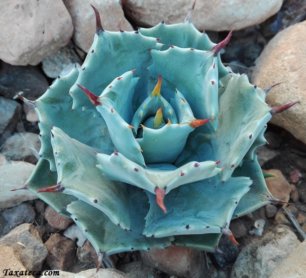 Agave parryi Agave_parryi