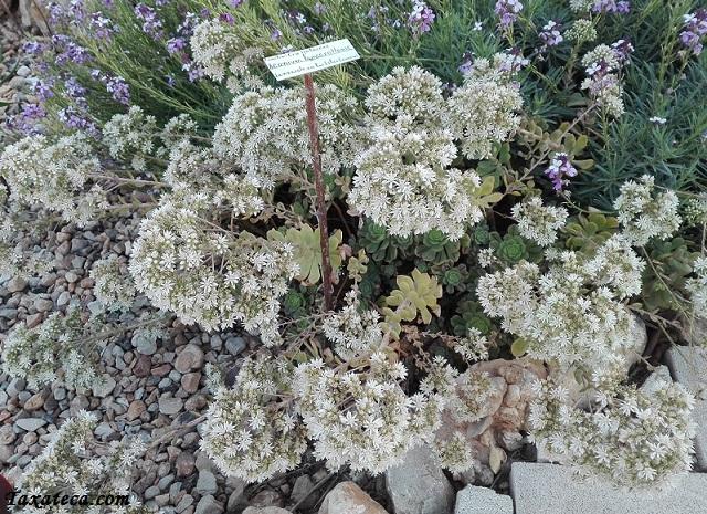 Aeonium lancerottense Aeonium_lancerottense3