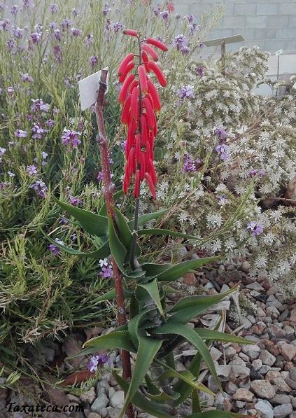 Aloe ciliaris Aloe_ciliaris