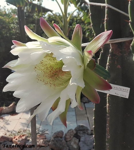 Cereus hildmannianus Cereus_hildmannianus2