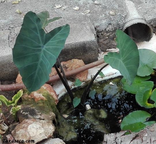 Colocasia esculenta Colocasia_esculenta