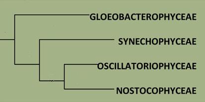 Nostoc commune Cladograma1