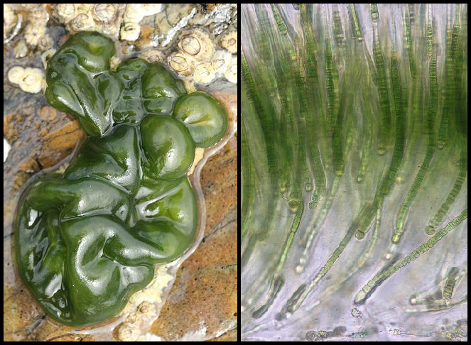 Rivularia bullata Rivularia_bullata