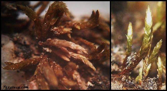 Anomobryum julaceum Anomobryum%20julaceum%202