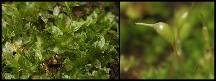 Entosthodon pulchellus Entosthodon_pulchellus
