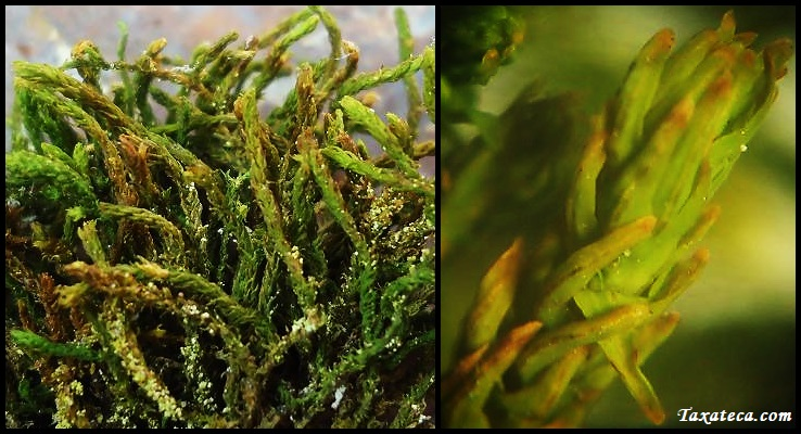 Anomodon viticulosus Anomodon_viticulosus