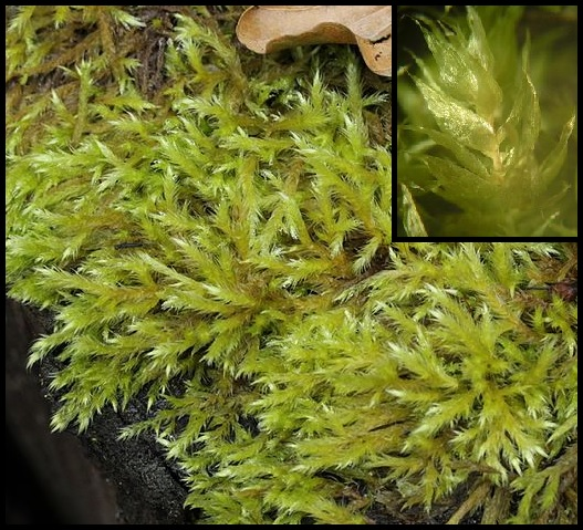 Brachythecium salebrosum Brachythecium_salebrosum
