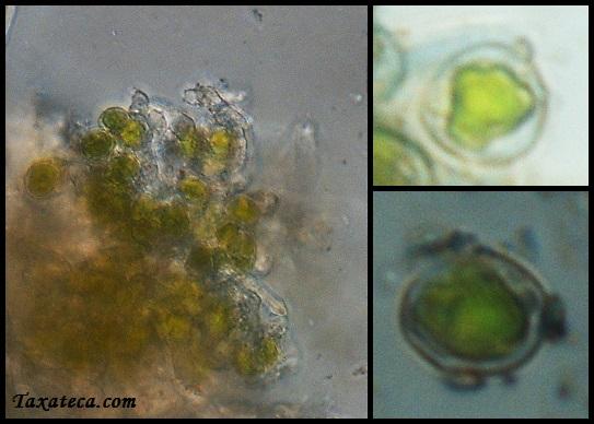Asterochloris mediterranea Asterochloris_mediterranea