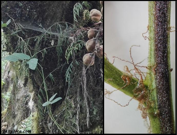 Asplenium aethiopicum Asplenium_aethiopicum