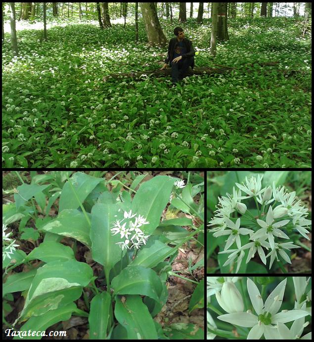 Allium ursinum Allium_ursinum