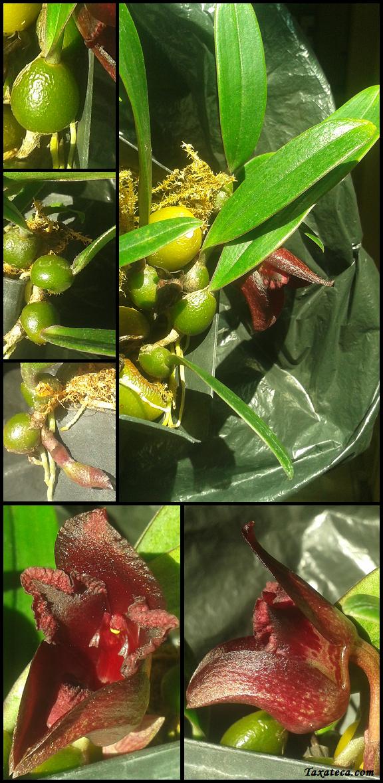 Bulbophyllum cruentum Bulbophyllum_cruentum