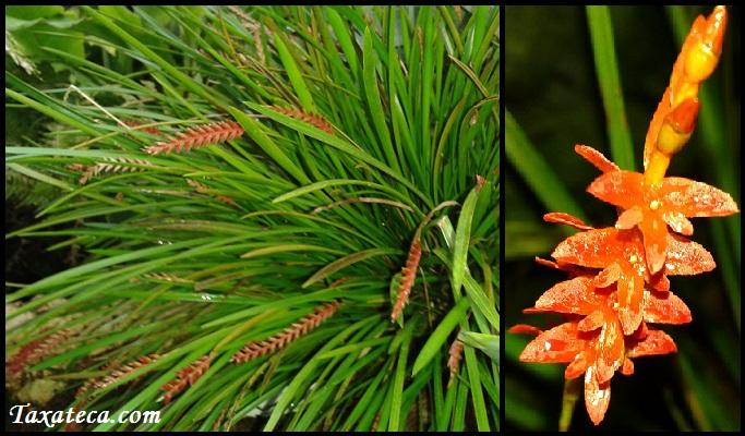 Dendrochilum wenzelii Dendrochilum_wenzelii