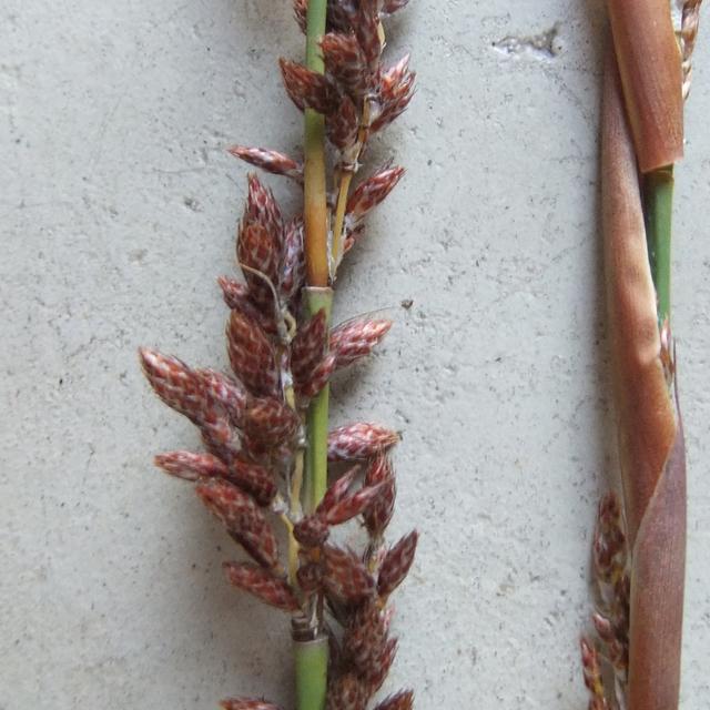 Cannomois robusta Cannomois_robusta2