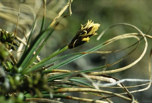 Carex curvula Carex_curvula