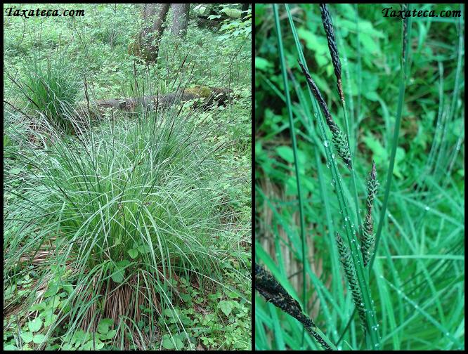 Carex elata Carex_elata