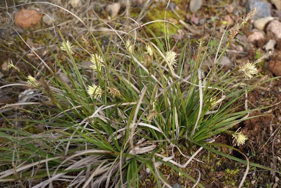 Carex halleriana Carex_halleriana
