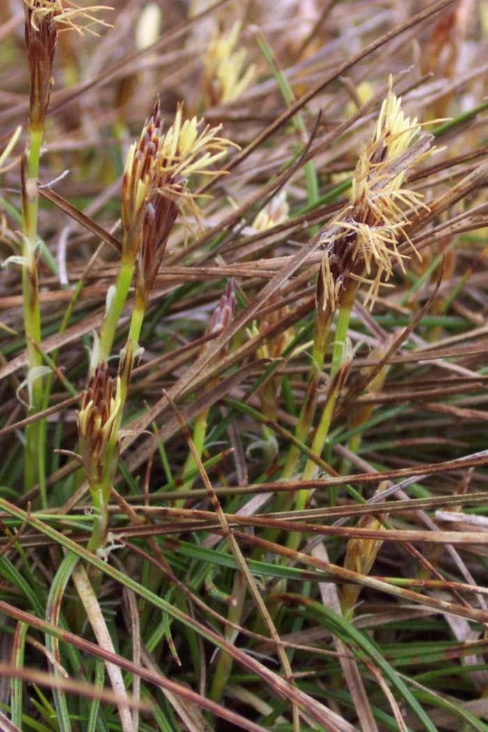 Carex humilis Carex_humilis