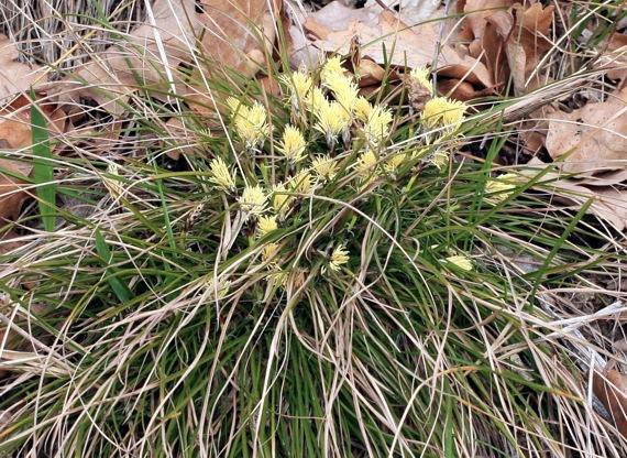 Carex humilis Carex_humilis2