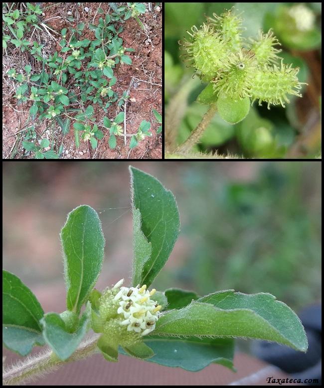 Acanthospermum australe Acanthospermum_australe