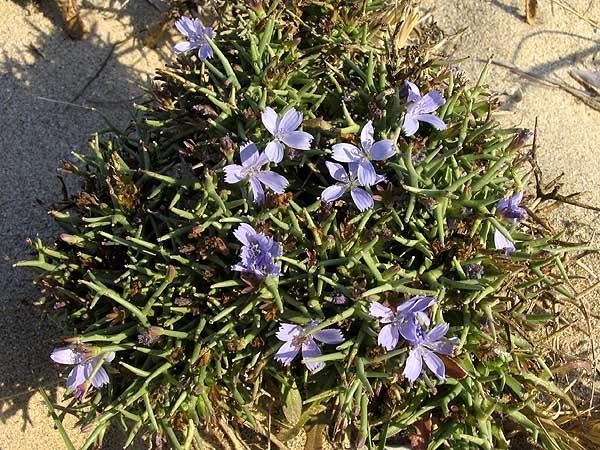 Cichorium spinosum Cichorium_spinosum
