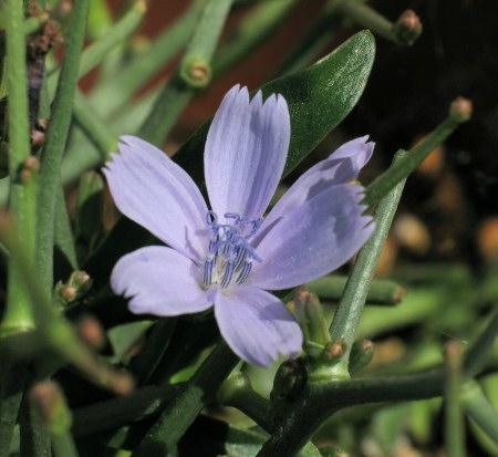 Cichorium spinosum Cichorium_spinosum2