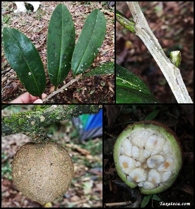 Cinnamosma macrocarpa Cinnamosma_macrocarpa