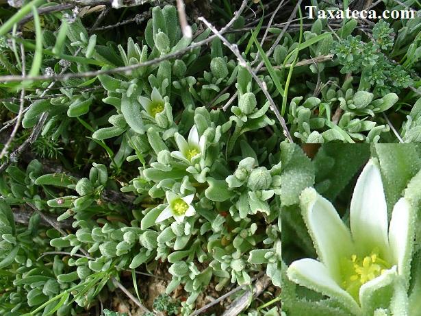 Aizoon hispanicum Aizoon_hispanicum