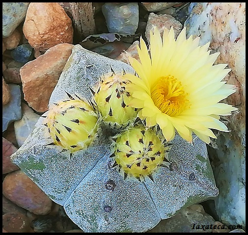 Astrophytum myriostigma Astrophytum_myriostigma