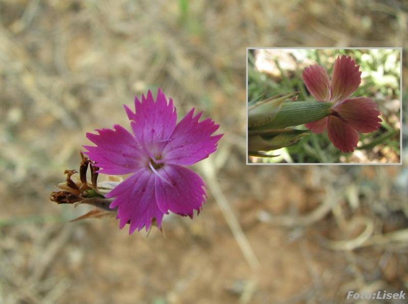 Dianthus legionensis Dianthus_legionensis