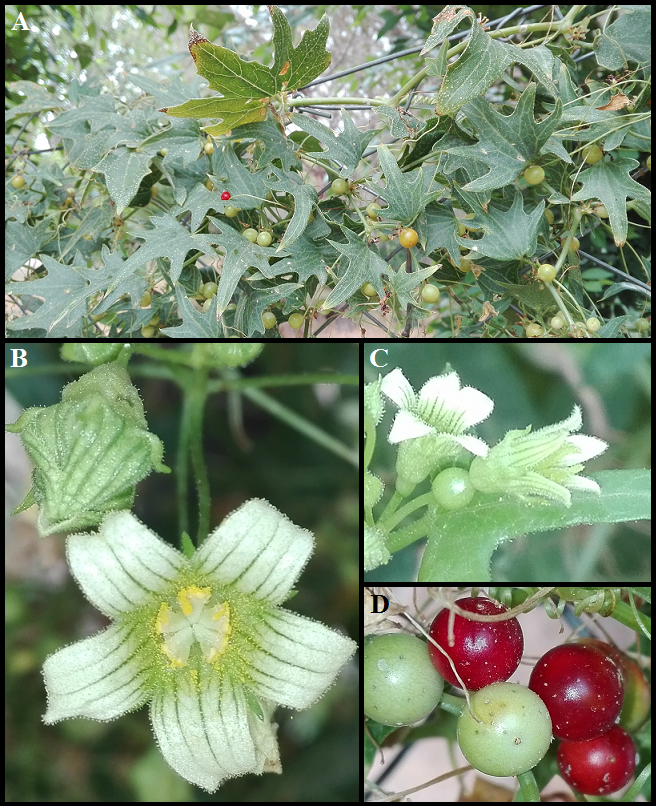Bryonia dioica Bryonia_dioica