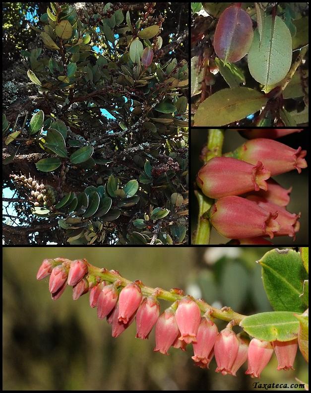 Agarista salicifolia Agarista_salicifolium