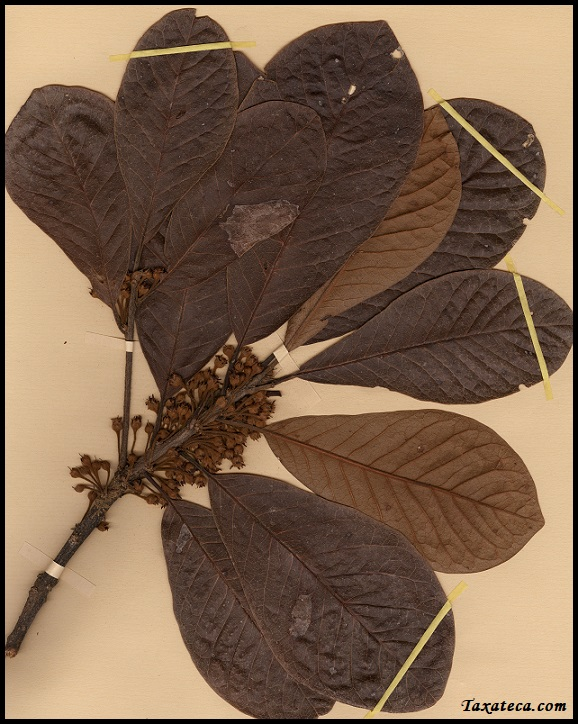 Capurodendron apollonioides Capurodendron_apollonioides
