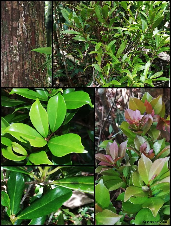 Capurodendron ludiifolium Capurodendron_ludiifolium